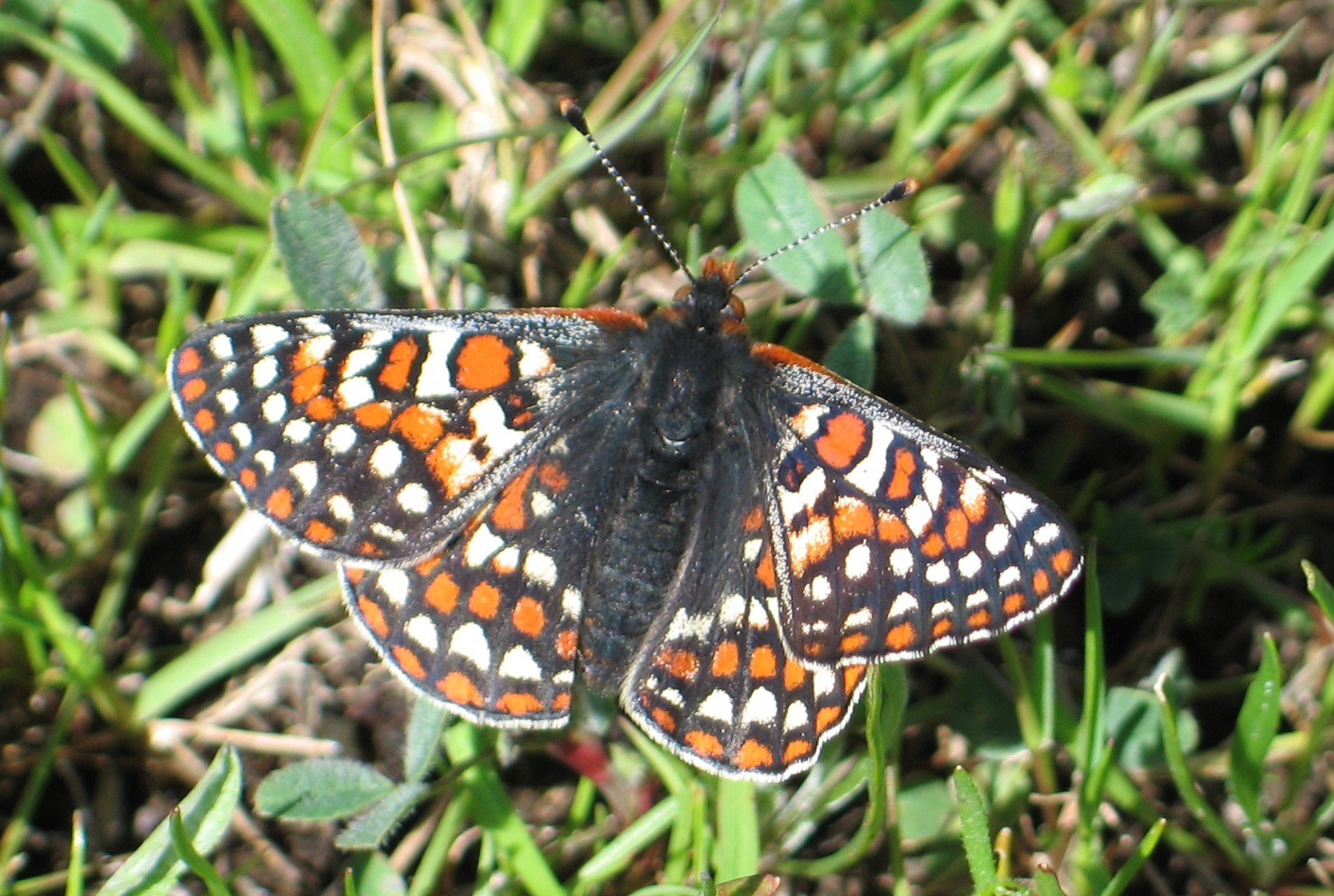 Bay checkerspot