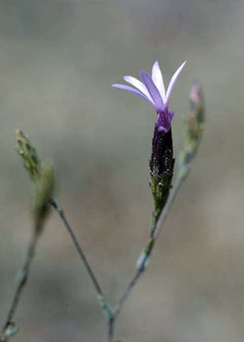 Smooth Lessingia